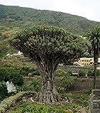 Asklepios-seeds® - 8 Semillas de Dracaena draco drago, dragón, drago canario, drago de Canarias, drago de África, dragonal, dragonero, árbol de la sangre de drago, árbol del drago, árbol Gerión