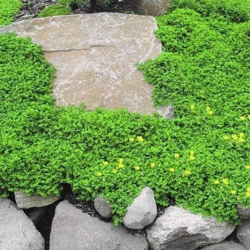 Rupturewort Green Carpet Ground Cover Seeds (Herniaria Glabra)