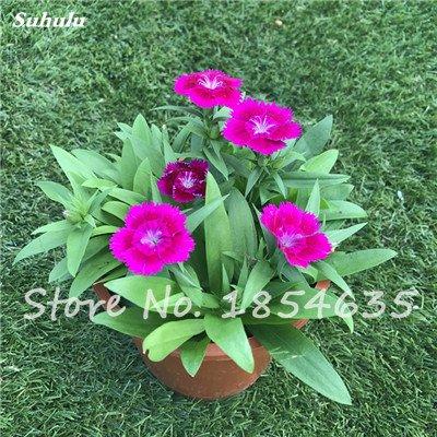 Inde importation Œillets Seed Dianthus caryophyllus Embellir et de purification d'air bricolage jardin Plantation maman cadeau 120 Pcs 2