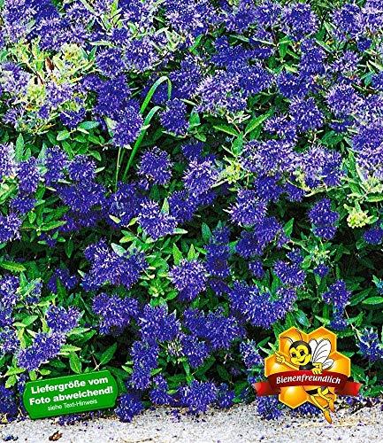 BALDUR-Garten Zierstrauch Bartblume 'Blauer Spatz®', 1 Pflanze Caryopteris clandonensis