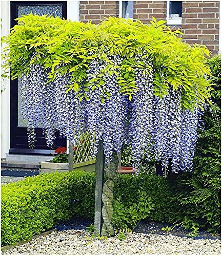 BALDUR Garten Blauregen auf Stamm winterhartes Stämmchen, 1 Pflanze Wisteria sinensis Glycinie Zierstämmchen
