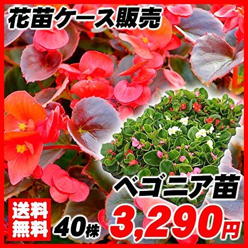 国華園 花苗 ベゴニア苗 ケース販売 1ケース40株入り /21年春商品