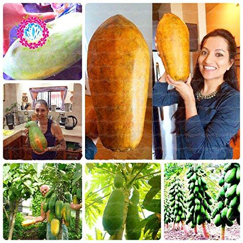 30pcs géant de papaye Graines Super Sweet Melon savoureux papaye fraîche Succulent Plant Très facile Graines de fruits pour bricoler jardin