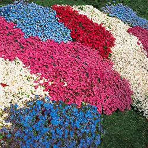 Qulista Samenhaus - 50pcs Steinkraut Gänsekresse duftende Bodendecker Mischung bienenfreundlich | Polsterpflanze Blumensamen Mischung mehrjährig Winterhart für Steingärten