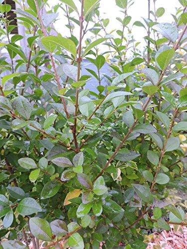 50 St. Ovalblättriger Liguster (Ligustrum ovalifolium) Wurzelware- 2-3 Triebe- 60-90cm
