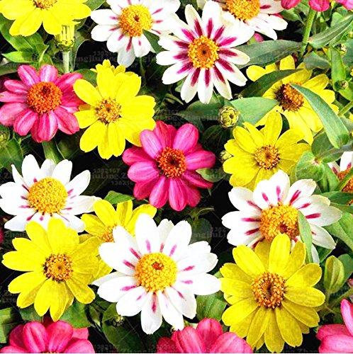 100pcs graines de marguerite Livingstone Daisy Graines, graines en pot, graines de fleurs, variété complète, le taux de 95% en herbe mélange des plantes d'intérieur