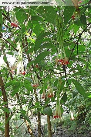 Fuchsien/Fuchsie (Fuchsia bolivia White) 30 Samen -Selten-