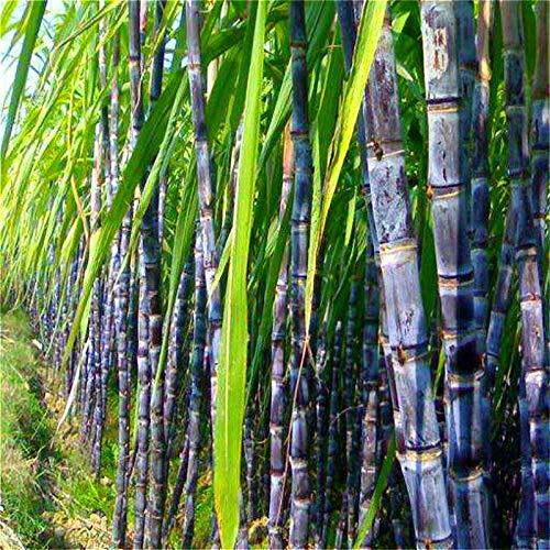ScoutSeed 100 stücke zuckerrohr samen lebensfähig köstliche riesige sukkulenten riesigen rohrstock obstbaum
