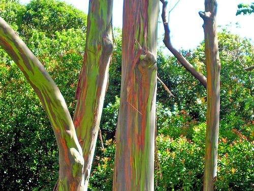 10 Samen von Eucalyptus Deglupta Regenbogen-Baum
