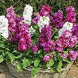 Graines de mélange de fleurs de Stock Hoary 30 pièces biologiques Matthiola Incana fraîches belles graines de plantes colorées pour la plantation de jardin bonsaï décor