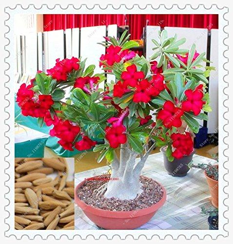 5pcs / lot incroyable couleur rouge Adenium obesum Desert Rose Seeds Graines jardin Rose Fleur Bonsai Arbre Plante