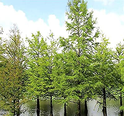 NORTHERN Bald Cypress, Taxodium distichum Northern, Tree Seeds AKA Swamp Cypress - Fast Growing Long Lived - FRESH SEEDS - Cold Hardy Zones 4 - 8 - By MySeeds.Co