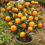TENGGO 30Uds Semillas Comestibles del Árbol de Bonsai del Mandarín de la Fruta Semilla de Cítricos Semillas de Naranja de Mandarina de Bonsai