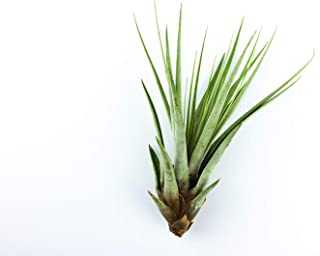 Best fasciculata air plant Reviews