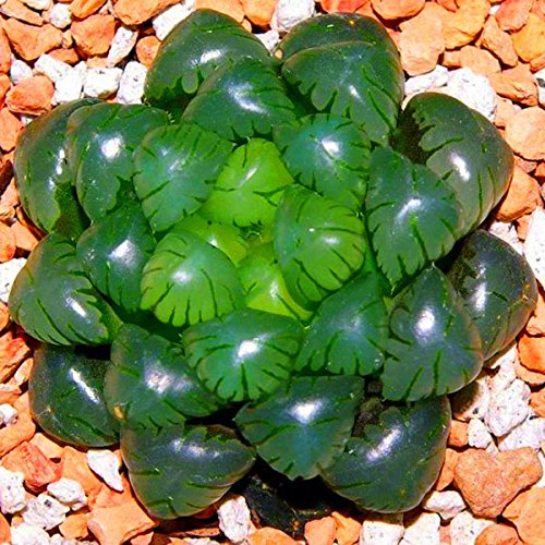 TENGGO Egrow 100Pcs/Pack Lotus Lithops Succulent Semillas Pseudotruncatella Plantas de jardín Flower Bonsai Seed
