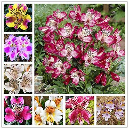 ChinaMarket 100pcs / sac graines Alstroemeria Mix Pérou Lily Alstroemeria Inca Bandit - graines planta