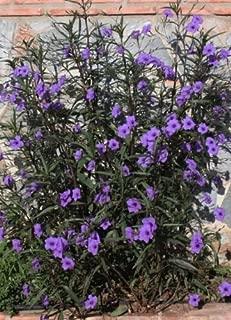 Best purple mexican petunia Reviews