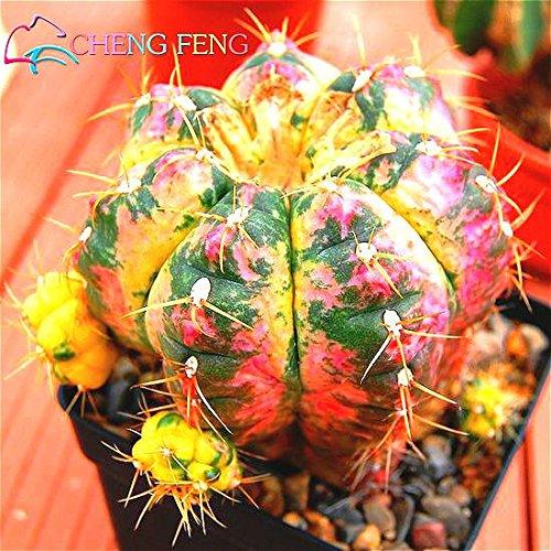 Celestial Being graines - cactus - graines de plantes en pot famille anti-rayonnement 100 graines / paquet