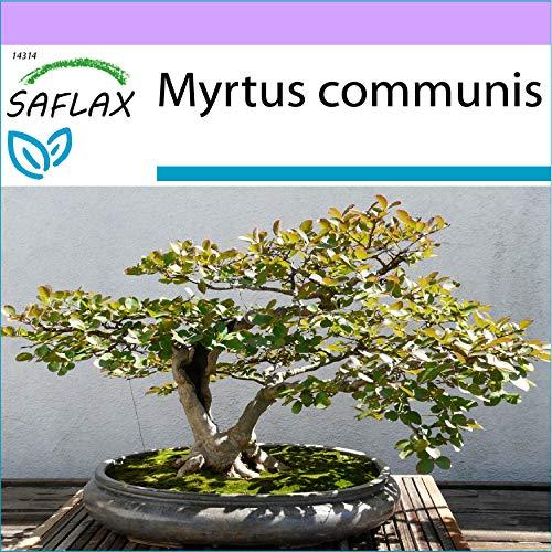 SAFLAX - Bonsai - Echte Myrte/Brautmyrte - 30 Samen - Myrtus communis
