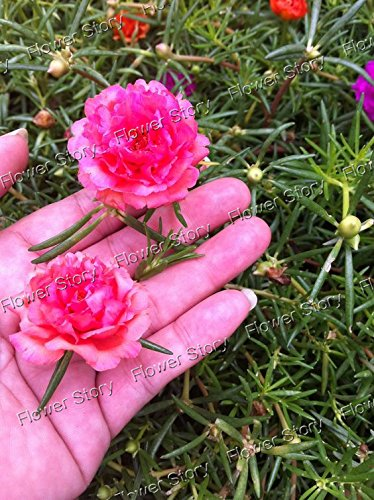 500 Mixed Color Moss-rose Purslane Double Flower Seeds for planting (Portulaca grandiflora), heat tolerant ,easy growing