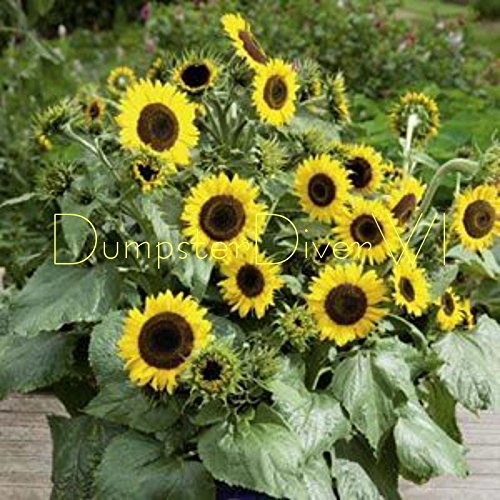 Primrose Heirloom de tournesol de Sutton 40 + graines non ogm Conteneurs bio