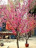 Amarillo claro: Venta caliente Nueva planta de jardín para el hogar 10 piezas Albaricoque japonés Flor de ciruela china Prunus Mume Semillas de invierno Semillas de árboles de flores Gratis