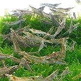 ミナミヌマエビ 150匹 エビ 飼育用・餌用にも 【生体】emuwai