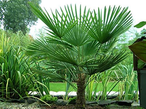 TUS PLANTAS A CASA | TRACHYCARPUS FORTUNEI | PALMERA EXCELSA| MACETA 20CM | PLANTA NATURAL