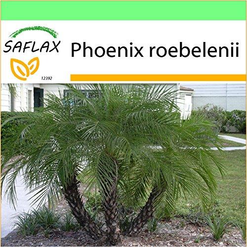 SAFLAX - Garden to Go - Palmera datilera enana - 25 semillas - Con macetero de barro, platillo, sustrato para cultivo y fertilizante - Phoenix roebelenii