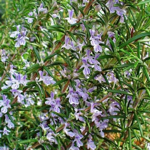 2 x Rosmarin Rosmarinus officinalis Arp Winterharte und robusteste Sorte