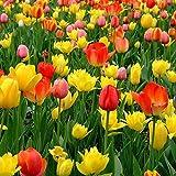 Oce180anYLVUK Graines De Tulipe, 300 Pièces/Sac De Graines De Tulipe Vitalité Plante En Automne Graines De Plantes à...