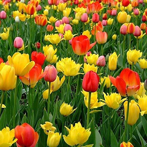 Oce180anYLVUK Semi di tulipano, 300 pezzi/borsa Semi di tulipano pieni di vitalità Pianta in autunno Semi di piante da fiore a crescita rapida per giardino Tulip Seed