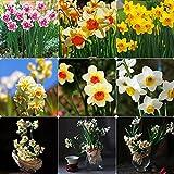AGROBITS 400pcs Couleurs mélangées Narcissus Bulbes parfumée Jonquille Pastel plante printemps Fleur