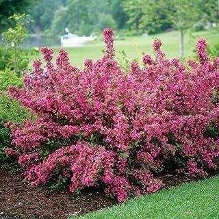 160 ct. Old Fashioned Weigela Bush (Weigela Florida) - (MB) Rare Flower Tree Summer Spring Garden Decoration