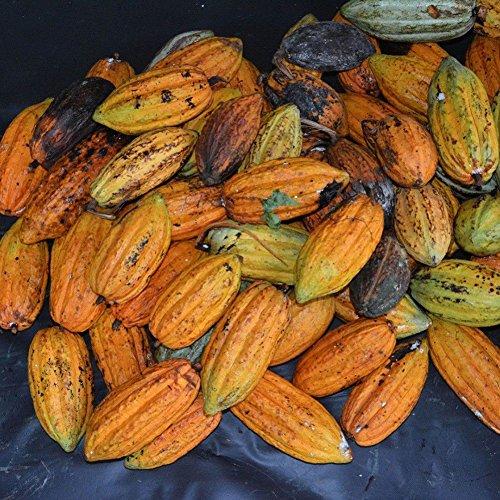 XQxiqi689sy 40Pcs Semi di Frutta Cacao Albero Che Germoglia Decorazione Fresca per Piante da Giardino