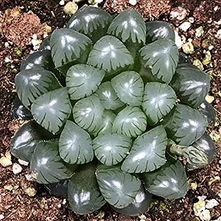 Haworthia cooperi VAR truncata Rare Live Indoor or Outdoor Succulent xeriscape Garden; 4