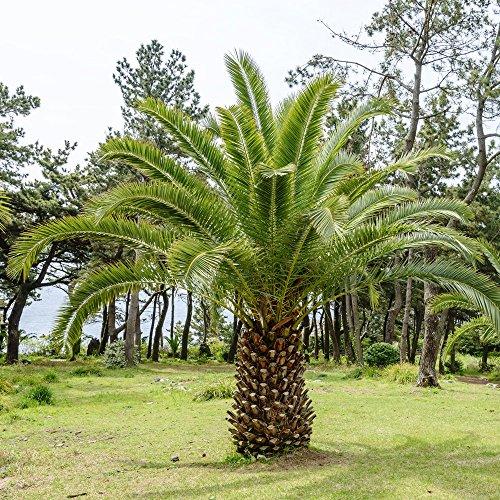 Kanarischen Insel Datum Palm Samen - Phoenix canariensis