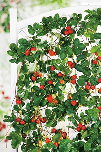 Erdbeere Hänge- & Klettererdbeere®' - Fragaria x ananassa - immertragend, ertragreich, leuchtendrot, mittelgroß, aromatisch-süße Früchte