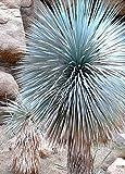 Immagine 1 yucca rostrata raro becco big