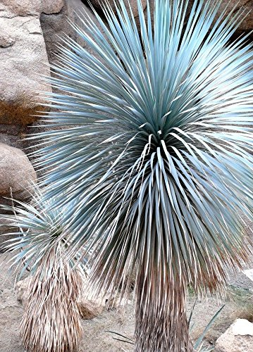 BEAKED YUCCA, yuca rostrata Big Bend agave garden aloe tree-like seed - 15 SEEDS