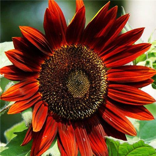 20 pcs/sac de graines de tournesol, graines de tournesol pour la plantation des graines de fleurs bonsaï croissance naturel pour le jardin de la maison Plantin 5