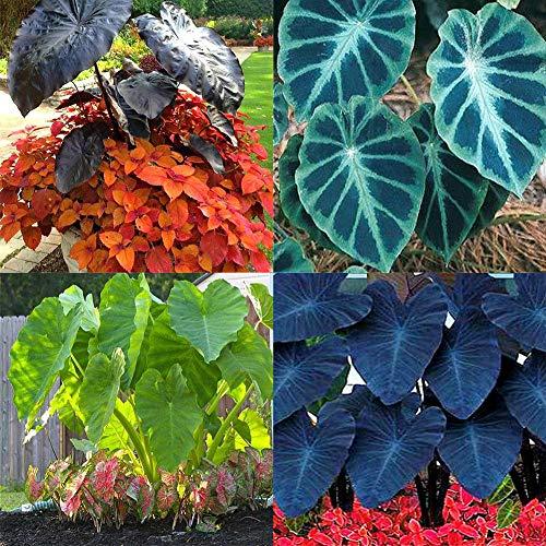 quanjucheer 20 Stück Arum Seeds Alocasia Seeds Zierpflanze Grün Hausgarten Hof Felddekoration Alocasia Seeds 2#