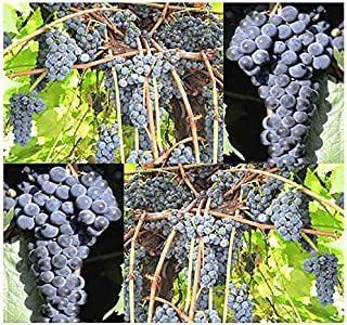 Lumos80 (10) Riverbank Grape Fruit Seeds - Vitis riparia- Combined S&H