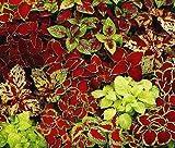COLEUS FAIRWAY MIX Solenostemon Scutellarioides - 40 Bulk Seeds