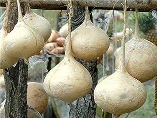 Jicama Seeds (100 Seeds)