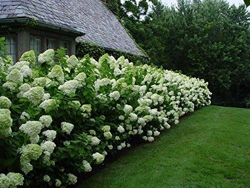 20 pezzi semi di ortensia Paniculata 'vanilla Fraise' fragola ortensie seme semi bonsai fiore pianta in vaso per la casa giardino Bianco