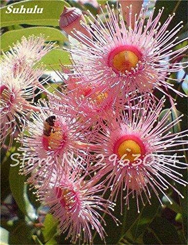 Vente! 100 pcs/sac rares Eucalyptus Graines géant Arbre tropical Graines Angiosperme pour jardin Plantation d'extérieur Bonsai cadeau