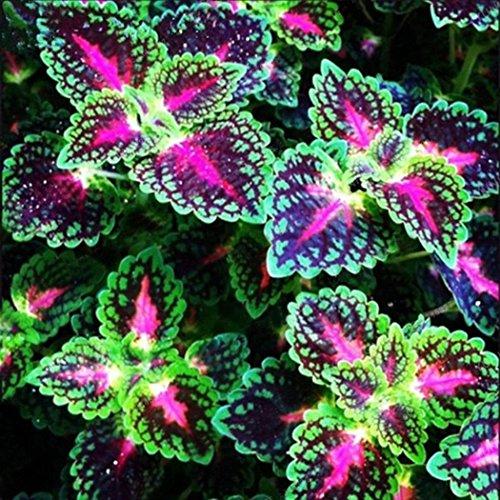 AIMADO Samen-Rarität 100 Pcs Buntnessel Saatgut Balkonblume Blumensamen Zimmerpflanze Buntnesselsamen Bunte Blattschmuckpflanzen Mehrjährig für Fensterbank, Balkon und Zimmer