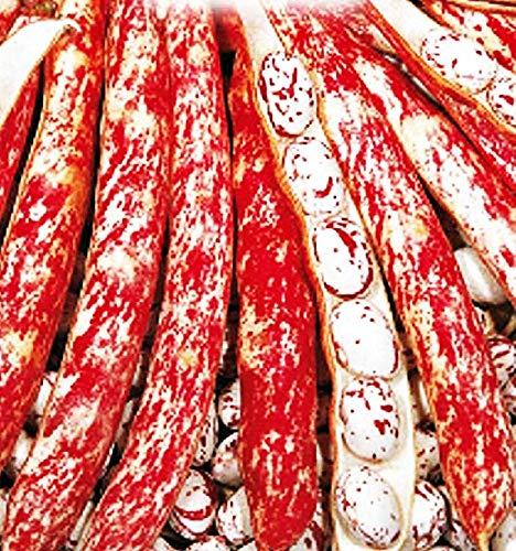 Zwergbohnen-Borlotto-Feuerzunge - Phaseolus vulgaris - landwirtschaftliche Samen - Barlotti-Kidneybohnen - etwa 380 Samen