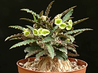 Euphorbia Suzannae - Marnierae Exotic Rạre Madagascar Bónsai Caudex SéẹD 5 SéẹDs Seeds_Easy_Grow